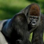 ヒトは常に2足歩行  大型類人猿とヒトの違い