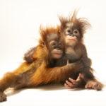 好奇心と頭の良さ    大型類人猿とヒトとの違い
