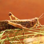 昆虫のスゴい身体!バッタの耳は前足にある