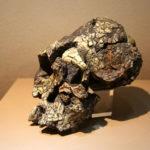 違う種のヒト属が共存していた証拠!?ケニアントロプス・プラティオプスの化石