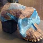 ホミニンの肉食の起源⁈新しいアウストラロピテクス。ガルヒについて紹介します。